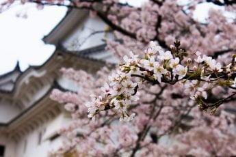 Sæson for kirsebærtræer i Japan