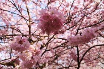 Kirsebærtræer i København