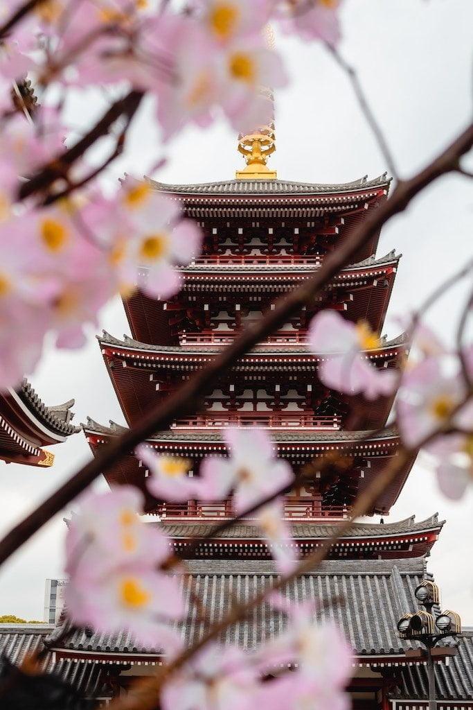Senso-ji med sakurablomster