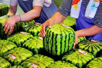 firkantet vandmelon